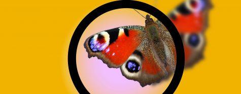 Naturdetektive_Schmetterling_Lupe_SMNS_Joachim_Holstein