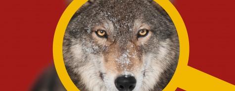 Naturdetektive_Wolf_Lupe_SMNS_fotolia-hkuchera