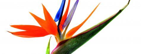 Strelitzia reginae_T. Kulikova-Shutterstock