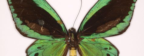 Schmetterlinge_Ornithoptera_priamus