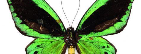 Schmetterlinge_Ornithoptera_priamus_SMNS